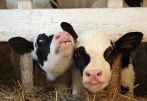 Пейте, дети, молоко!.. (интерактивная программа на ферме Джона Кописки с деревенским обедом и мастер-классами по приготовлению молочных изделий и стейков)